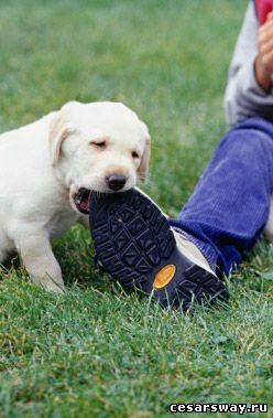 собака грызет вещи